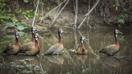 Small group of White faced Whistling-Duck swimming in lake in Kruger National park, South Africa ; Specie Dendrocygna viduata family of Anatidae