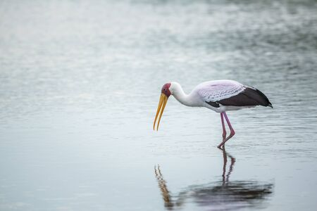 Yellow-Billed stork wading and eating in Kruger National park, South Africa ; Specie Mycteria ibis family of Ciconiidae Фото со стока