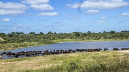 Herd of African buffalo in lake side in Kruger National park, South Africa ; Specie Syncerus caffer family of Bovidae