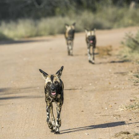 African wild dog running on gravel road in Kruger National park, South Africa ; Specie Lycaon pictus family of Canidae Stock Photo