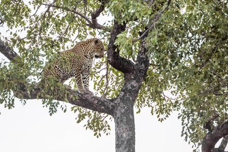 Leopard stting in a tree in Kruger National park, South Africa ; Specie Panthera pardus family of Felidae