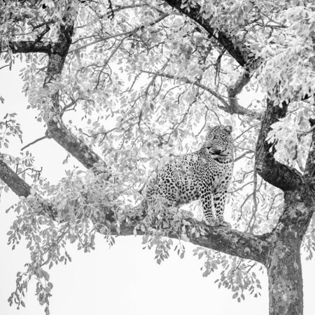 Leopard sitting in a tree in Kruger National park, South Africa ; Specie Panthera pardus family of Felidae