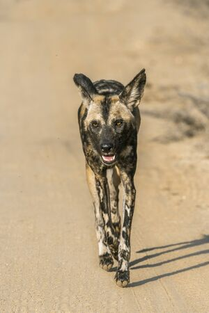 African wild dog running on gravel road in Kruger National park, South Africa ; Specie Lycaon pictus family of Canidae Фото со стока