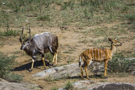 Nyala in Kruger National park, South Africa ; Specie Tragelaphus angasii family of Bovidae