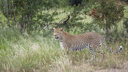 Leopard in green savannah in Kruger National park, South Africa ; Specie Panthera pardus family of Felidae