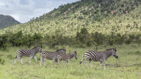 Four Plains zebra in green savannah in Kruger National park, South Africa ; Specie Equus quagga burchellii family of Equidae