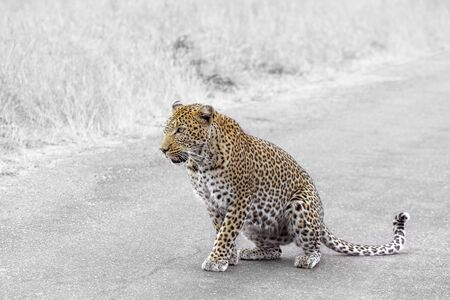 Leopard sitting on the road in Kruger National park, South Africa ; Specie Panthera pardus family of Felidae