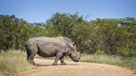 Southern white rhinoceros crossing safari gravel road in Kruger National park, South Africa ; Specie Ceratotherium simum simum family of Rhinocerotidae