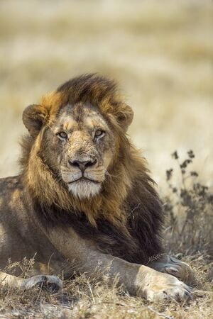 African lion male portrait in Kruger National park, South Africa ; Specie Panthera leo family of Felidae Stock Photo