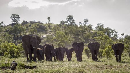 African bush elephant herd walking in front view in Kruger National park, South Africa ; Specie Loxodonta africana family of Elephantidae
