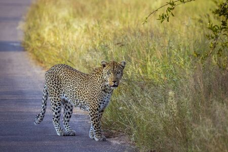 Leopard on safari road in Kruger National park, South Africa ; Specie Panthera pardus family of Felidae Imagens