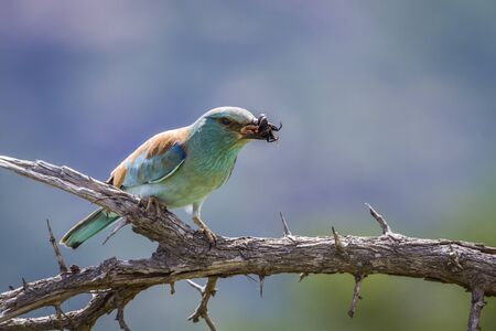 European Roller eating insect in Kruger National park, South Africa ; Specie Coracias garrulus family of Coraciidae