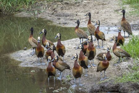Small group of White faced Whistling-Duck on riverside in Kruger National park, South Africa ; Specie Dendrocygna viduata family of Anatidae