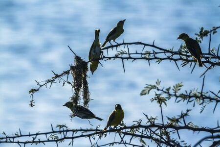 Small group of Spectacled Weaver building nest in Kruger National park, South Africa ; Specie Ploceus ocularis family of Ploceidae