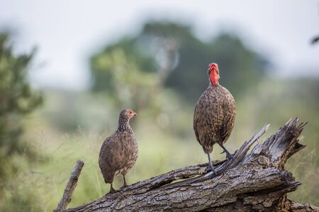 Couple of Swainsons Spurfowl perched on log in Kruger National park, South Africa ; Specie Pternistis swainsonii family of Phasianidae