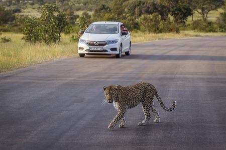 Leopard crossing safari road in front of tourist car in Kruger National park, South Africa ; Specie Panthera pardus family of Felidae Redakční