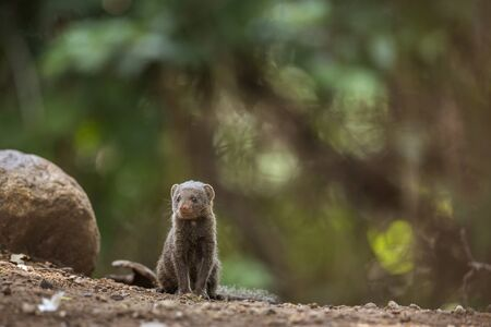 Common dwarf mongoose sitted with natural background in Kruger National park, South Africa ; Specie Helogale parvula family of Herpestidae