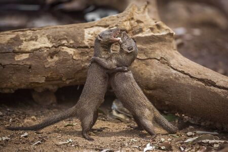 Two Common dwarf mongoose fighting in Kruger National park, South Africa ; Specie Helogale parvula family of Herpestidae