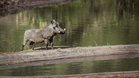 Common warthog male along lake side in Kruger National park, South Africa ; Specie Phacochoerus africanus family of Suidae