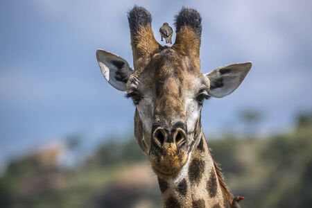 Giraffe portrait isolated in natural background in Kruger National park, South Africa ; Specie Giraffa camelopardalis family of Giraffidae Stock Photo