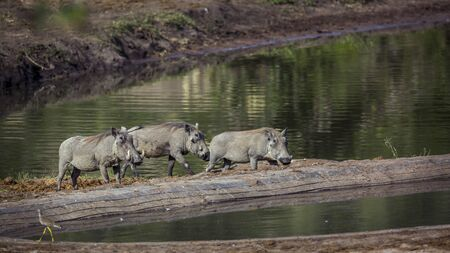 Three Common warthog walking in lake side in Kruger National park, South Africa ; Specie Phacochoerus africanus family of Suidae
