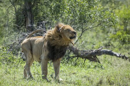African lion male shacking in front view in Kruger National park, South Africa ; Specie Panthera leo family of Felidae