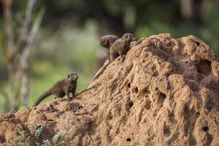 Common dwarf mongoose in Kruger National park, South Africa ; Specie Helogale parvula family of Herpestidae Stock Photo