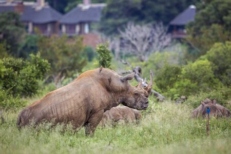 Three Southern white rhinoceros lyng down close to houses in Kruger National park, South Africa ; Specie Ceratotherium simum simum family of Rhinocerotidae