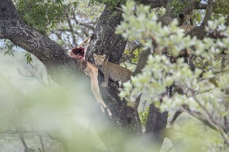 Young Leopard eating impala prey in a tree in Kruger National park, South Africa ; Specie Panthera pardus family of Felidae Stock Photo