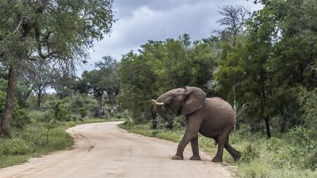 African bush elephant crossing safari road in Kruger National park, South Africa ; Specie Loxodonta africana family of Elephantidae