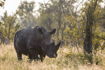 Southern white rhinoceros backlit front view in Kruger National park, South Africa ; Specie Ceratotherium simum simum family of Rhinocerotidae