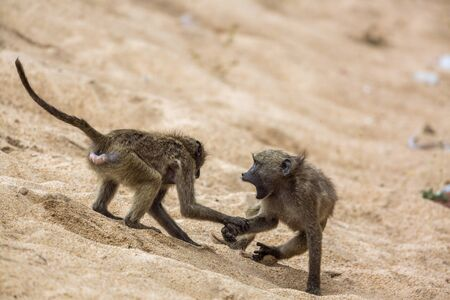 Two Chacma baboon fighting in the sand in Kruger National park, South Africa ; Specie Papio ursinus family of Cercopithecidae
