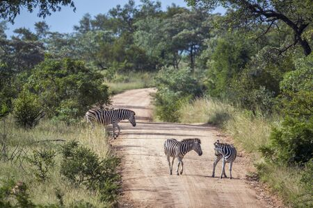 Three Plains zebra on a safari gravel road in Kruger National park, South Africa ; Specie Equus quagga burchellii family of Equidae
