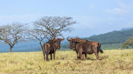 Blue wildebeest in Mlilwane wildlife sanctuary scenery, Swaziland ; specie Connochaetes taurinus family of bovidae
