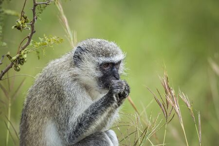 Vervet monkey eating plants in Kruger National park, South Africa ; Specie Chlorocebus pygerythrus family of Cercopithecidae