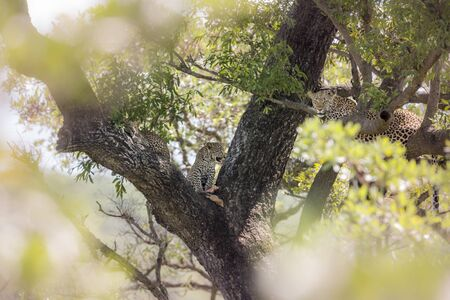Leopard female with two cubs in a tree in Kruger National park, South Africa ; Specie Panthera pardus family of Felidae