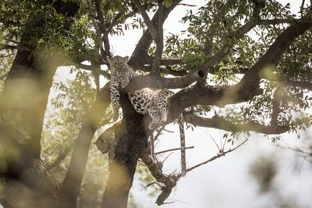 Leopard female with cub lyng down in a tree in Kruger National park, South Africa ; Specie Panthera pardus family of Felidae