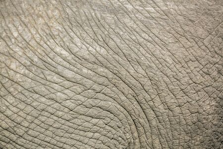 Close up of African bush elephant skin in Kruger National park, South Africa ; Specie Loxodonta africana family of Elephantidae