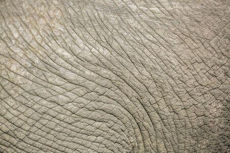 Nahaufnahme von afrikanischen Busch Elefantenhaut im Krüger Nationalpark, Südafrika; Specie Loxodonta africana Familie der Elephantidae