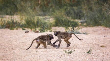 Two Chacma baboons fighting in sand in Kruger National park, South Africa ; Specie Papio ursinus family of Cercopithecidae