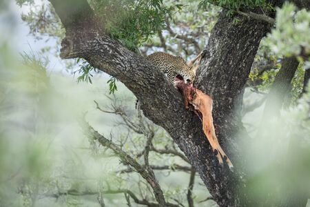 Young Leopard eating a prey in a tree in Kruger National park, South Africa ; Specie Panthera pardus family of Felidae