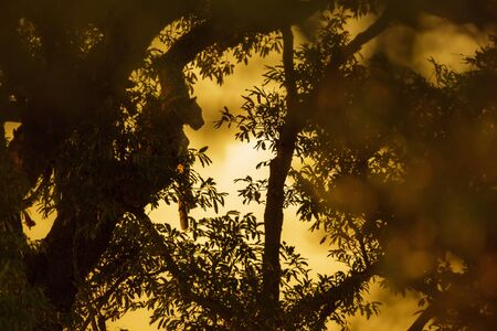 Silhouette of Leopard at sunset in Kruger National park, South Africa ; Specie Panthera pardus family of Felidae