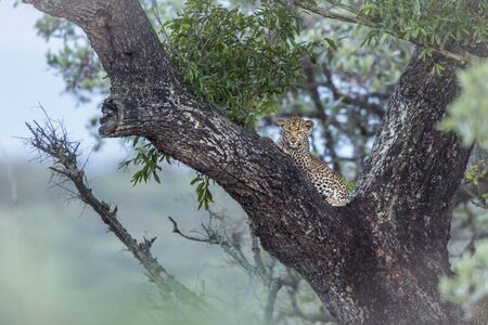 Young Leopard lying down in a tree in Kruger National park, South Africa ; Specie Panthera pardus family of Felidae Stock Photo
