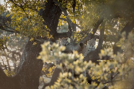 Young Leopard and mother lying down in a tree in Kruger National park, South Africa ; Specie Panthera pardus family of Felidae