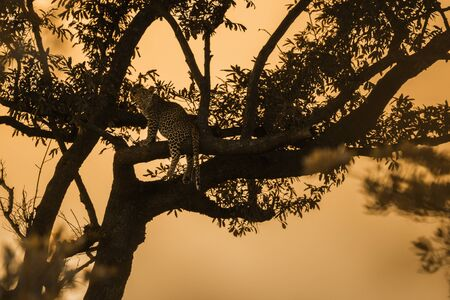 Young Leopard silhouette at sunset in Kruger National park, South Africa ; Specie Panthera pardus family of Felidae Stock Photo