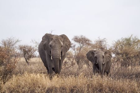 African bush elephant female and young walking in front view in Kruger National park, South Africa ; Specie Loxodonta africana family of Elephantidae Stock Photo