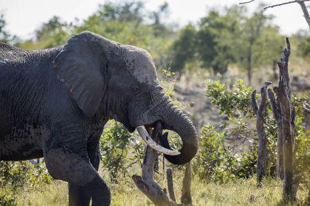 Afrikanischer Buschelefant mit einem riesigen Zahnstocher im Krüger Nationalpark, Südafrika; Specie Loxodonta africana Familie der Elephantidae