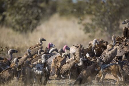 Lappet faced Vulture in middle of Group of White backed Vultures scavenging a giraffe's carcass in Kruger National park, South Africa; Specie Gyps africanus and ? Torgos tracheliotos