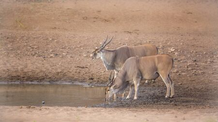 Two Common elands drinking in waterhole in Kruger National park, South Africa ; Specie Taurotragus oryx family of Bovidae