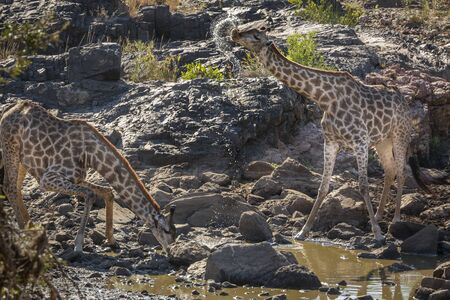 Two Giraffes drinking in waterhole in Kruger National park, South Africa ; Specie Giraffa camelopardalis family of Giraffidae Stock Photo